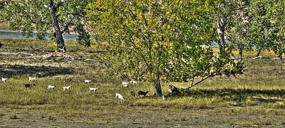 Yellowstone Digital Art - Goats On The Yellowstone by Aliceann Carlton