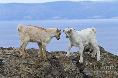 Butting Heads Photograph - Goats Playing On A Rock by Jean-Louis Klein & Marie-Luce Hubert