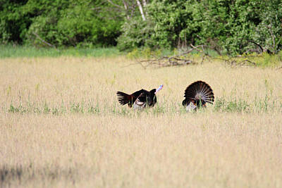 Photograph - Gobbling Tom by Brook Burling