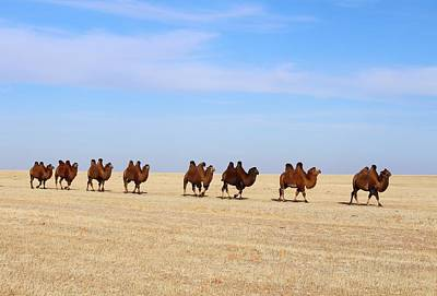 Photograph - Gobi Camels by Diane Height