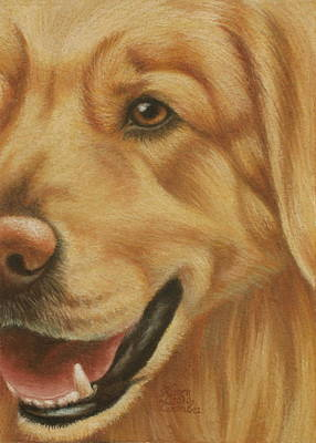 Breed Study Pastel - Goggie Golden by Karen Coombes