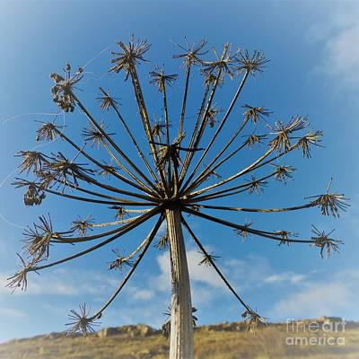 Photograph - Going To Seed by Barbie Corbett-Newmin