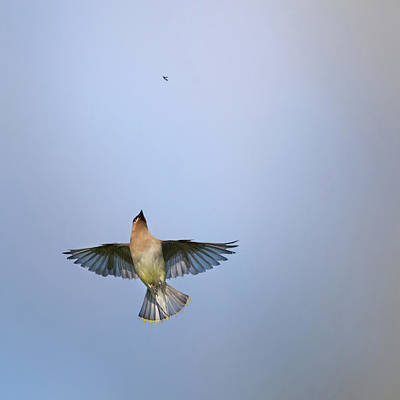 Cedar Waxwing Photograph - Going Up Square by Bill Wakeley