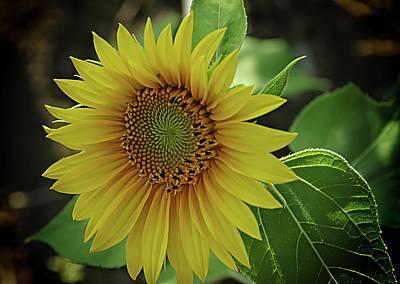 Photograph - Gold And Green And Sunflower Light by Karen McKenzie McAdoo