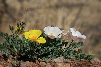 Photograph - Gold And White Poppies  by Saija Lehtonen