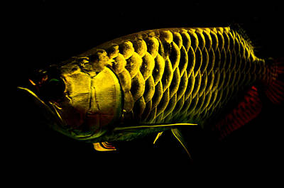 Photograph - Gold Arowana01 by Chua  ChinLeng