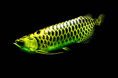 Photograph - Gold Arowana09 by Chua  ChinLeng