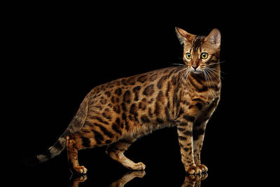 Gold Bengal Cat On Isolated Black Background Art Print by Sergey Taran