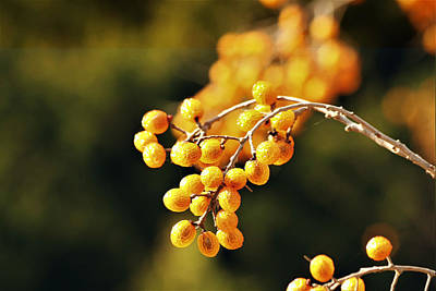 Photograph - Gold Chinaberries And Bokeh by Sheila Brown