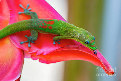 Photograph - Gold Dust Day Gecko 3 by Daniel Knighton