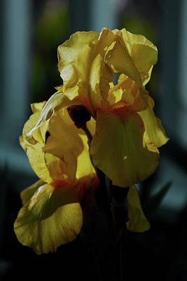 Photograph - Gold Dust Iris 6741 H_2 by Steven Ward
