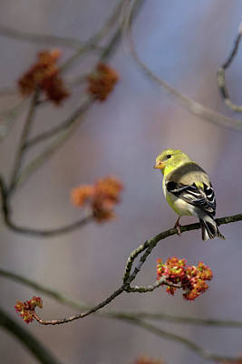 Finch Photograph - Gold Finch 2017 by Bill Wakeley