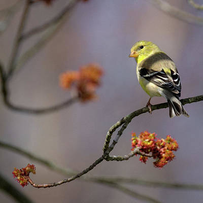 Birds Photograph - Gold Finch 2017 Square by Bill Wakeley