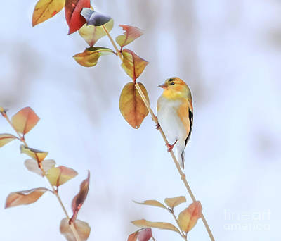 Photograph - Gold Finch Beauty by Peggy Franz