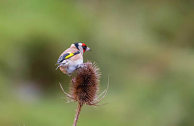 Photograph - Gold Finch  by Darren Wilkes
