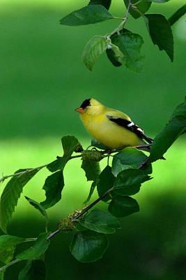 Yellow Beak Photograph - Gold Finch by Lyle  Huisken