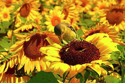 Gold Finch On Sunflower 11 Art Print by Geraldine Scull