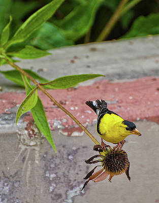 Photograph - Gold Finch by Rick Hartigan