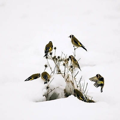Gold Finches In Snow Art Print