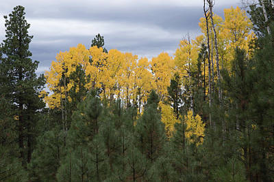Photograph - Gold In The Pines by Tom Daniel