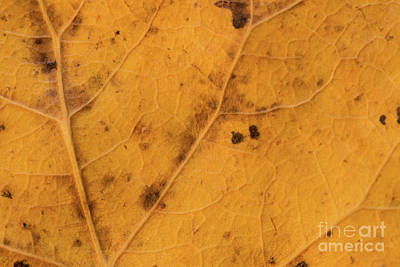 Photograph - Gold Leaf Detail by Ana V Ramirez
