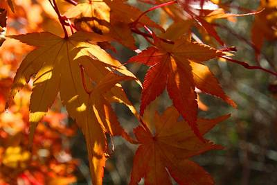 Photograph - Gold Leaf Japanese Maple by Kathryn Meyer