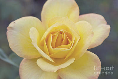Photograph - Gold Medal Rose by Cindy Garber Iverson