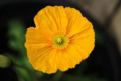 Photograph - Gold Poppy by Lynn Hopwood