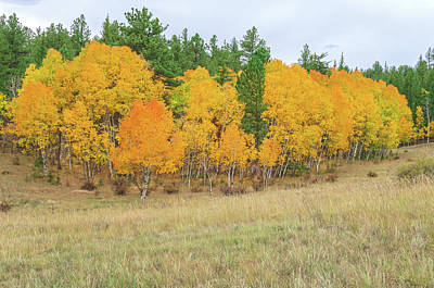Photograph - Gold Rush Is The Kenning For Yellow Aspen Leaves. by Bijan Pirnia