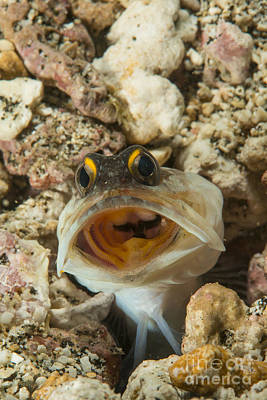 Animals Photos - Gold-specs Jawfish In Its Hole by Mathieu Meur