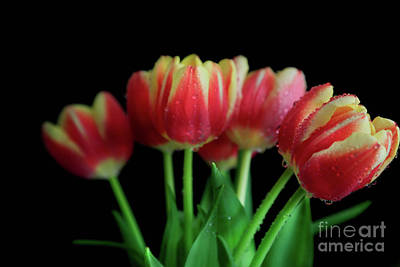 Photograph - Gold Tip Tulips by Tracy Hall