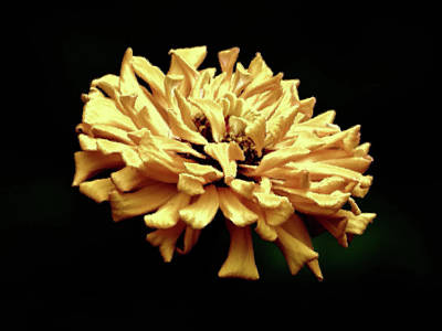 Photograph - Gold Zinnia - Brush Strokes by MTBobbins Photography