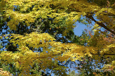 Photograph - Golden Acer by Tim Gainey