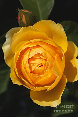 Photograph - Golden And Rich Beautiful Rose by Joy Watson