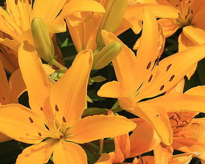 Photograph - Golden Asiatic Lilies by Dora Sofia Caputo Photographic Design and Fine Art