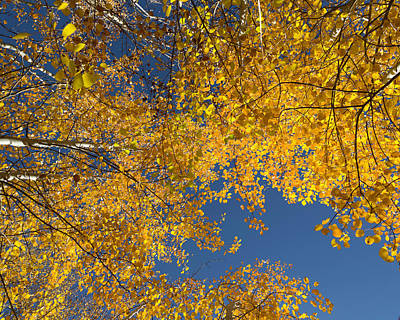 Photograph - Golden Aspen Leaves by Jemmy Archer