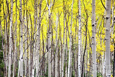Photograph - Golden Aspens by Olivier Steiner