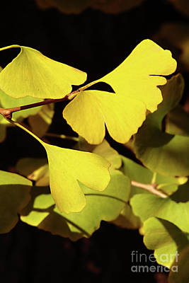 Gingko Wall Art - Photograph - Golden Autumn In Tokyo by Delphimages Photo Creations