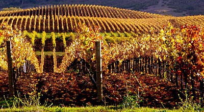 Golden Autumn Vineyard Art Print