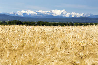 Golden Barley Field With A Row Of Trees Art Print