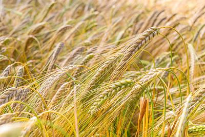 Photograph - Golden Barley. by Gary Gillette