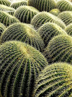 Photograph - Golden Barrel Cacti by Deniece Platt