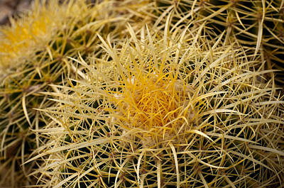 Photograph - Golden Barrel Cacti Up Close by Kevin Munro