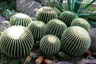 Photograph - Golden Barrel Cactus by Michiale Schneider