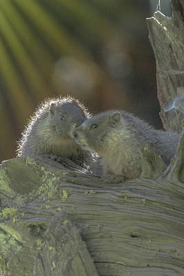 Photograph - Golden Bellied Marmot by Patricia Dennis