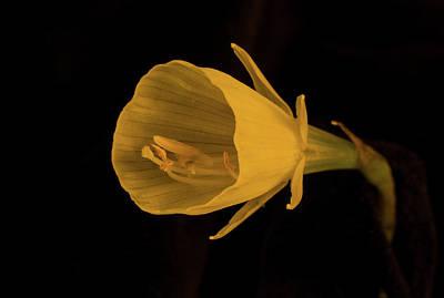 Photograph - Golden Bells Carpet Daffodil In Subdued Light by Douglas Barnett