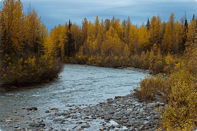 Golden Birch In Alaska Art Print by Jeff Folger
