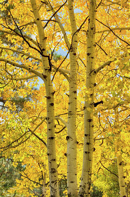 Photograph - Golden Birch  by Saija Lehtonen