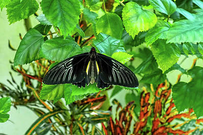 Photograph - Golden Birdwing Butterfly by Kay Brewer