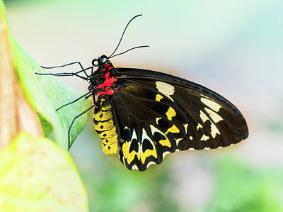 Photograph - Golden Birdwing Butterfly - Troides Rhadamantus by Cristina Stefan